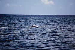 Spinner Dolphin Leaping Out Of The Water