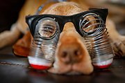 SHOT 12/25/17 10:58:45 AM - Tanner, a 13 year-old male Vizsla, begrudgingly wears a pair of goofy glasses for a photo during a trip home to see family at Christmas in Albuquerque, N.M. (Photo by Marc Piscotty / © 2017)