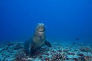 Hawaiian monk seal ( Neomonachus schauinslandi ), male ( critically endangered species endemic to Hawaii ), Lehua Rock, near Niihau, off Kauai, Hawaiian Islands ( Central Pacific Ocean )