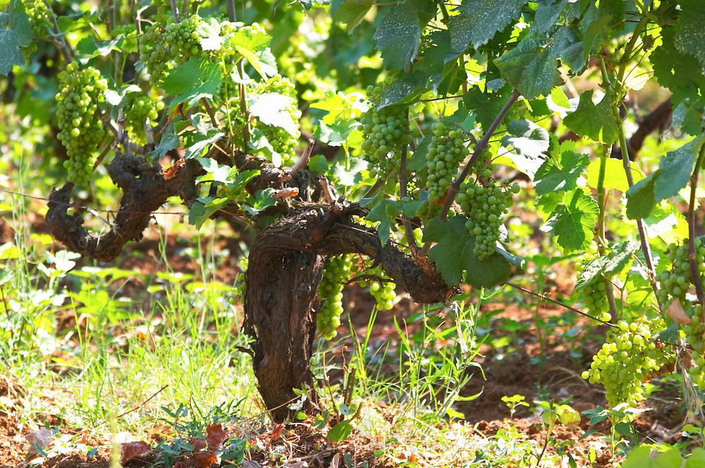 Old Vine with grape bunches. Zilavka local grape variety. Vita@I Vitaai Vitai Gangas Winery, Citluk, near Mostar. Federation Bosne i Hercegovine. Bosnia Herzegovina, Europe.