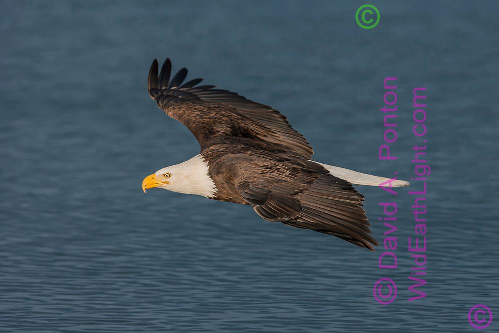 Bald eagle in level flight over ocean water, © David A. Ponton