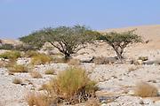 Israel, Arava, the Umbrella Thorn Acacia, (Acacia tortilis)