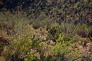 Spring in the Sonoran Desert in Saguaro National Park, Arizona