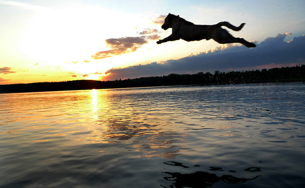 Yellow labrador retriever jumps into lake at sunset.