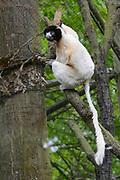 Apenheul is een gespecialiseerde dierentuin aan de rand van de Nederlandse stad Apeldoorn. De tuin ligt midden in het natuurpark Berg & Bos (200 ha). In Apenheul leven apen uit Afrika, Zuid-Amerika en Azië. De dieren leven er heel vrij: gaas of tralies ziet men er bijna niet. Sommige soorten lopen zomaar tussen de bezoekers rond. <br /> <br /> Op de foto: Kroonsifaka