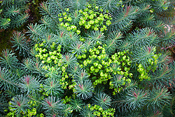 Euphorbia cyparissias 'Fens Ruby'.<br /> Cypress spurge 'Fens Ruby'