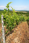 Vines. Vineyard. Merlot. Kir-Yianni Winery, Yianakohori, Naoussa, Macedonia, Greece