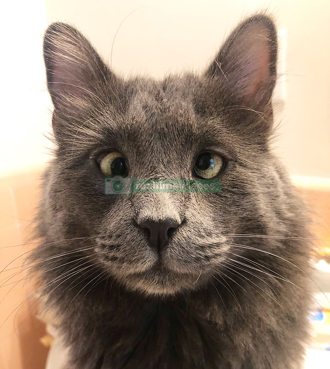 "*VIDEO AVAILABLE: info@cover-images.com*<br /> <br /> A cross-eyed rescue cat is using his unusual looks to raise thousands of dollars for charity. <br /> <br /> Belarus has been blighted with a 'confused' expression thanks to a condition called strabismus. <br /> <br /> He lives in San Francisco with owner Rachel Krall, who adopted him from a shelter after seeing him online. <br /> <br /> He was surrendered to San Francisco Animal Care & Control (SFACC) by his previous family, due to landlord issues <br /> <br /> Rachel explains: ""He is a very active and extremely curious cat.  He loves to play with balls, twist ties, and almost any other small object he can get his paws on.  He seems highly intelligent and doesn't let his wonky eyes slow him down."" <br /> <br /> ""Dr Travis Strong partnered with us to share more about strabismus, which is the medical term for the eye condition he has. It just means that the muscles that hold his eyes in place may have an abnormal position or may be damaged, causing the gaze to be displaced.  This condition doesn't cause pain and hasn't impacted his day-to-day. <br /> <br /> ""Since his adoption, we have raised and donated $1000's to animal charities to help other animals in need through his online presence.  In 2019, we partnered with Friends of SFACC, Cat Town of Oakland, and Sonoma Community Animal Response Team."" <br /> <br /> Belarus merchandise:  http://www.belarusthecat.com/merchandise/<br /> <br /> Where: San Francisco, United States<br /> When: 04 Aug 2018<br /> Credit: my_boy_belarus/Cover Images<br /> <br /> **MANDATORY CREDIT: Rachel Krall/Cover Images. Only for use in this story. Editorial Use Only. No stock, books, advertising or merchandising without photographer's permission**"