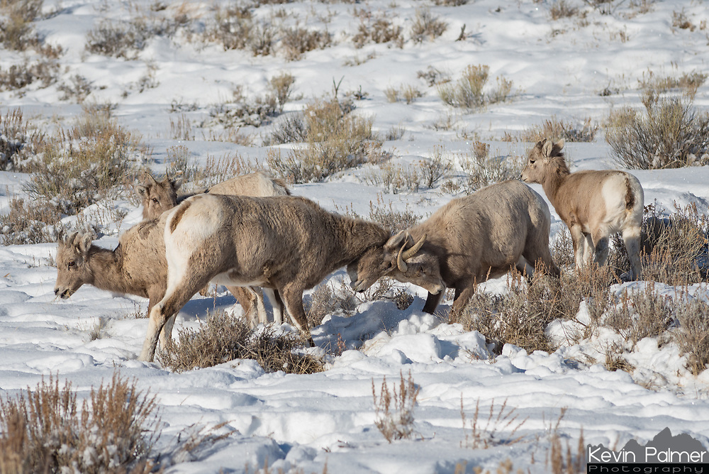 On a cold December morning at the National Elk Refuge in Jackson, I caught these young bighorn sheep in a little scuffle. When rams battle with each other the sound of their horns clashing can be heard from up to a mile away. But these two only butted heads once. Dozens of bighorn sheep spend their winters here at lower elevations, where the snow isn't as deep and food is easier to access.