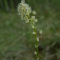 A Mountain Death Camas (Zigadenus elegans), which contains toxins as potent as strychnine, blooms in Montana's Boulder River Valley.