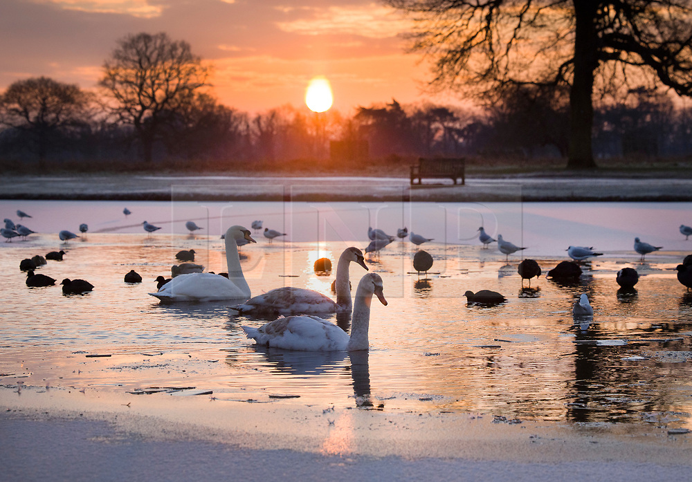 © Licensed to London News Pictures. 11/02/2021. London, UK. Young swans swim amongst the pond ice at a freezing Bushy park, south west London. Overnight temperatures reached -5C in parts of the south east. Photo credit: Peter Macdiarmid/LNP