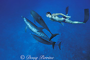 athlete Matt Biondi ( winner of 11 swimming medals in Olympics ) swims with wild Atlantic spotted dolphins, Stenella frontalis, Little Bahama Bank, Bahamas
