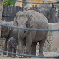 Three days old captive born baby elephant (C) meets his father (back) as he is introduced to members of the media the first time after its mother Angele (R) gave birth on 8th November in the City Zoo in Budapest, Hungary on Nov. 10, 2017. ATTILA VOLGYI