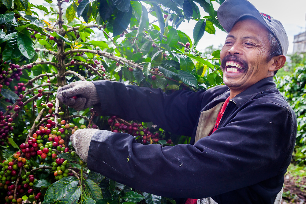 Pak Sugianto picks coffee cherries as his farm.  He has been a member of Permato Gayo since 2009.  His earnings have increased since joining.  The biggest challenge as a coffee farmer is the stability of price.  As a part of the co-op he received help such as farm equipments to cut grass, basic supplies such as rice and cooking oil, and updated farm training.  To him Fair Trade  means everyone wins, the quality of the coffee is excellent and dependable and it's organically certified.