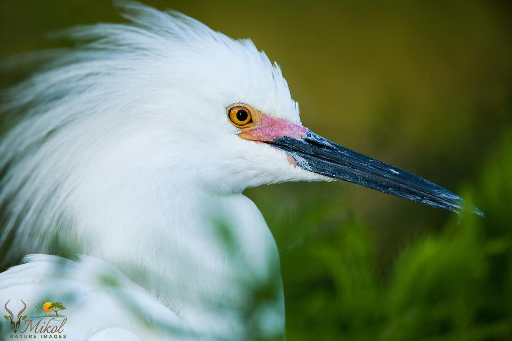 Headshot of Breeding snowy egret