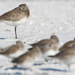 A black-bellied plover, Pluvialis squatarola, rests on North Beach at Fort De Soto Park in Pinellas County, Florida.  Winter plumage.