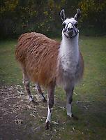 "Llama Lama named ""Quilcene"" poses in her pasture"