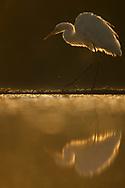 Great White Egret walking in water, Egretta alba or Ardea alba, at Pusztaszer protected landscape, Kiskunsagi, Hungary