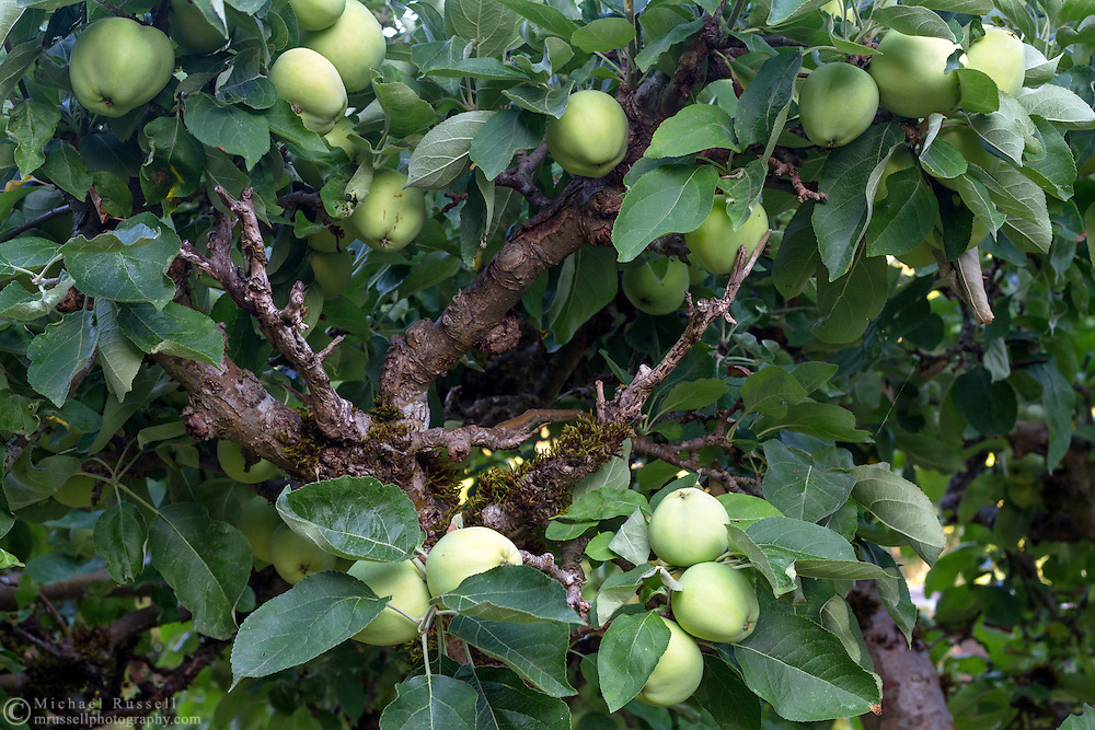 An apple tree covered in apples (Yellow Transparent) at a Fraser Valley orchard in British Columbia.
