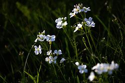 THEMENBILD - das Wiesenschaumkraut (Cardamine pratensis) blüht mit weiß bis zart violetten Blüten ab Ende April bis Mitte Mai, aufgenommen am 28. April 2018, Kaprun, Österreich // the meadowfoam (Cardamine pratensis) flowers with white to delicate violet flowers from late April to mid-May on 2018/04/28, Kaprun, Austria. EXPA Pictures © 2018, PhotoCredit: EXPA/ Stefanie Oberhauser