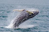 Immature humpback whale breaching off the Inian Island at Cross Sound, Southeast Alaska.