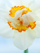 Narcissus 'Mary Copeland' - double daffodil