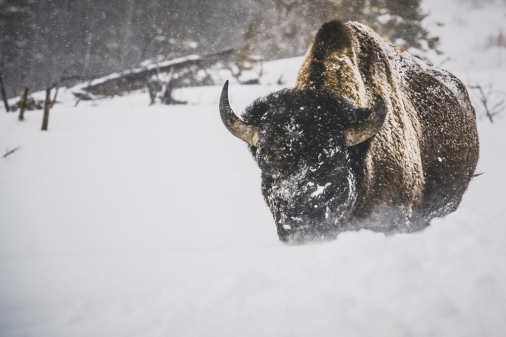 Lone Bison bull, Yellowstone National Park, Wyoming.