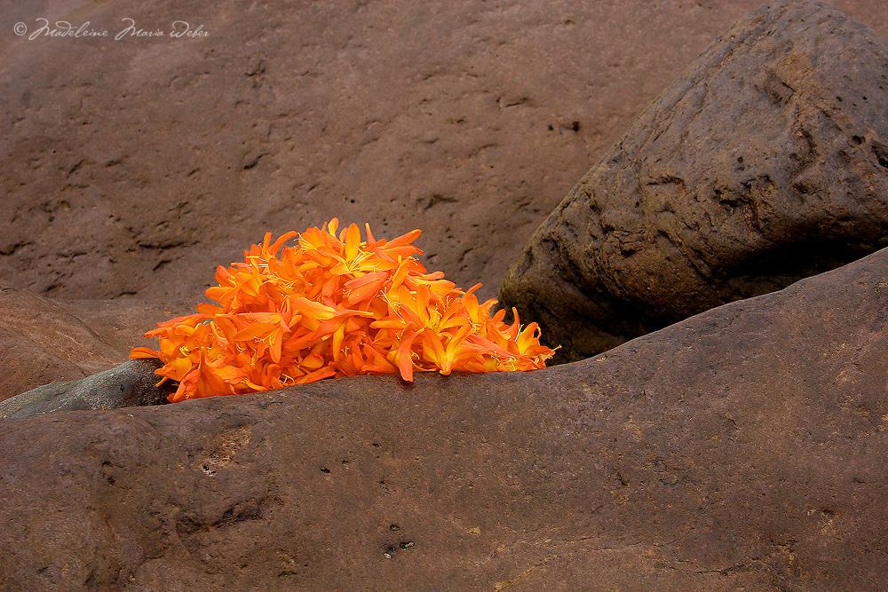 Irish Montbretia Flower Heads and Rocks,  / fa039