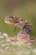 Rattlesnake about to strike