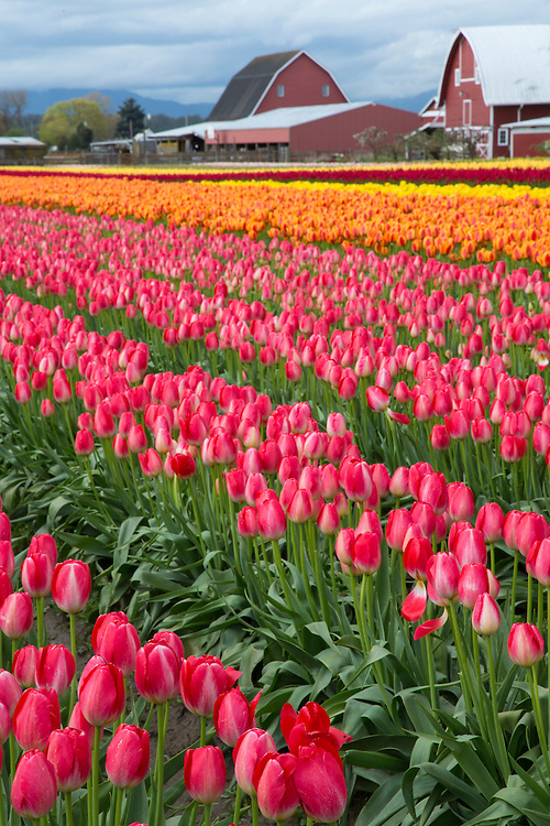 North America, United States, Washington, Mount Vernon, tulip rows and barns at Tulip Town during Skagit Valley Tulp Festival held annually in  April.  Tulip Town.  PR