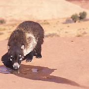 Coati Mundi, (Nasua narica)  Drinking from small water pool. Arizona. Captive Animal.