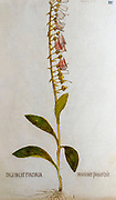 Hand drawn ancient Botanical illustration of a Digitalis purpurea (foxglove) plant, published c 1550
