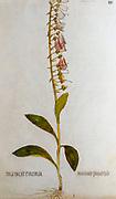 Hand drawn ancient Botanical illustration of a Digitalis purpurea (foxglove) plant, published c 1550