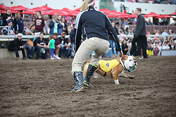 May 29, 2017 - Shakopee, MN, USA - Chesty, an English Bulldog, was chased by a Canterbury staffer after his race during the fourth annual Running of the Bulldogs on Monday, May 29, 2017 at Canterbury Park in Shakopee, Minn. Chesty's owner, Jenny Price, and staffers from Canterbury tried for a short time to catch the dog as the crowed cheered. (Credit Image: © Jerry Holt/TNS via ZUMA Wire)