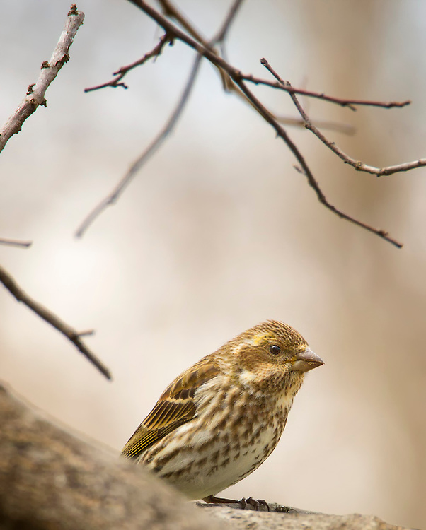A Female Purple Finch Sits Nestled In A Tree, On The Lookout For Her Next Meal