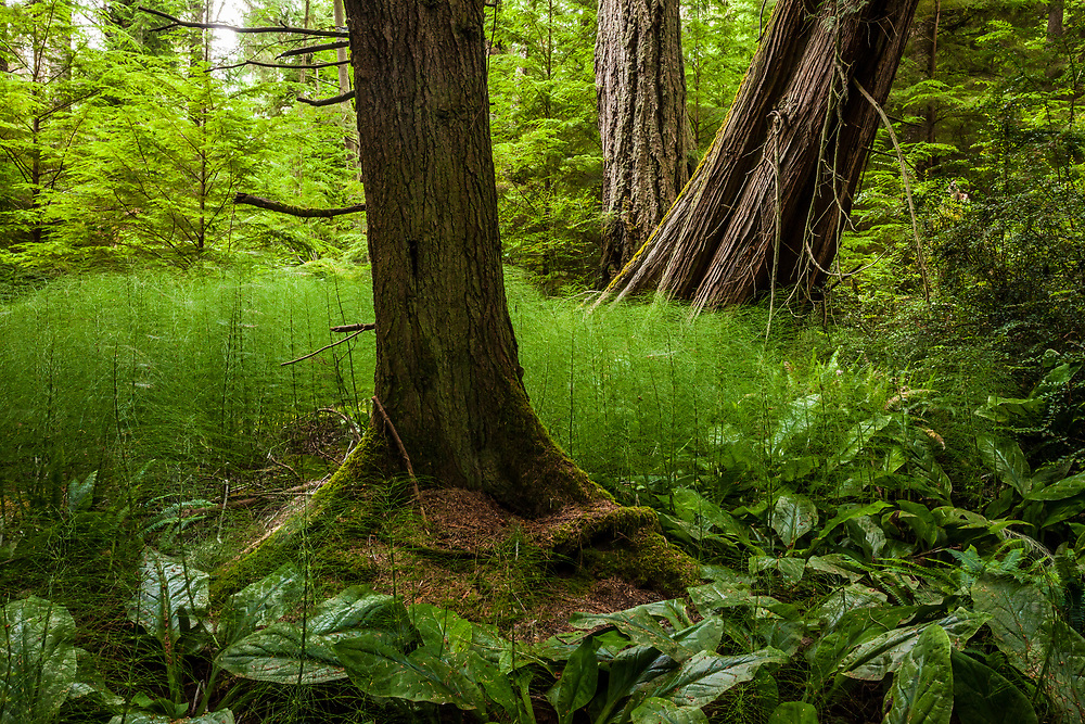 A swampy forest scene along the Fern Gully Trail in South Whidbey Island State Park, Washington, USA.
