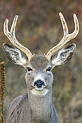Female Mule Deer with Antlers in Habitat, Close-up