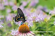 03004-01613 Pipevine Swallowtail (Battus philenor) on Purple Coneflower (Echinacea purpurea) Marion Co. IL