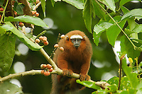 Dusky Titi Monkey (Callicebus discolor) near the mouth of Anangu creek where it meets the Napo River, Yasuni National Park, Orellana Province, Ecuador