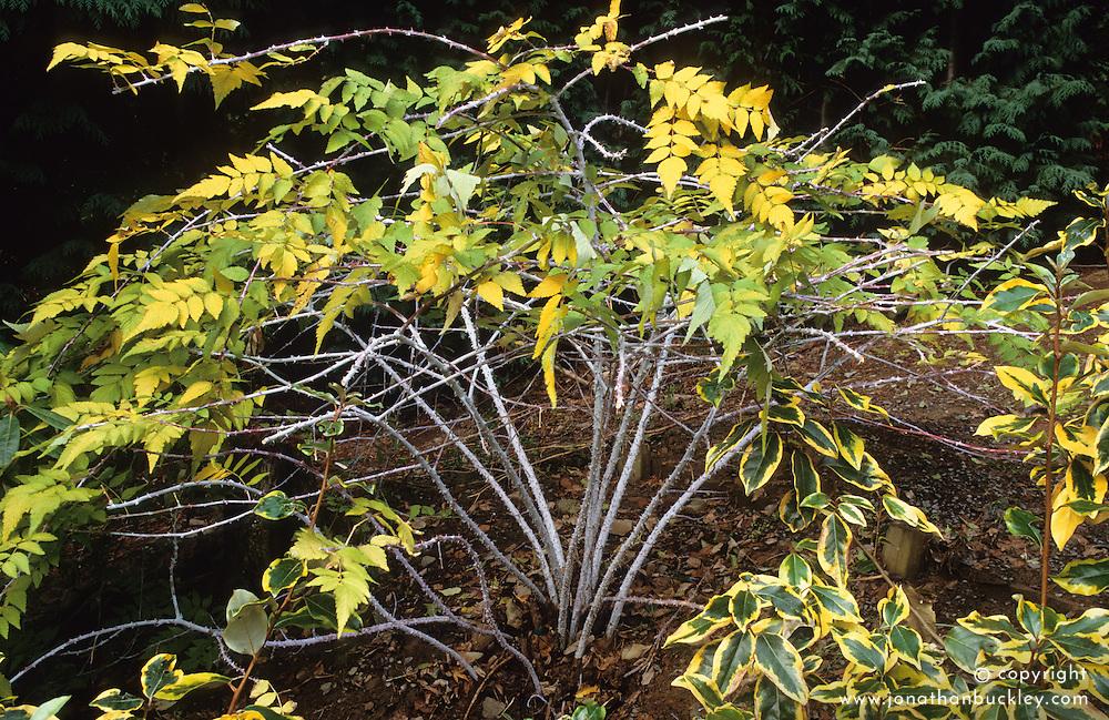 White winter stems of Rubus cockburnianus 'Goldenvale' AGM. White stemmed bramble.