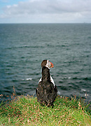 An already caught puffin is propped up with a stick as a decoy to encourage other puffins to come closer. Puffin hunting has been of major importance in Vestmannaeyjar and during the hunting season of just over 6 weeks every year, some 16,000 puffins were caught to make up Iceland's national dinner. However by 2011 and 2012, breeding failures had taken such a toll that puffin hunting was banned in Vestmannaeyjar.  In 2013 a five-day puffin-hunting season was allowed at the end of July.