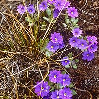 Himalayan wildflowers