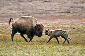 Tours: Yellowstone Ecosystem
