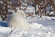 01863-01205 Arctic Fox (Alopex lagopus) in snow in winter, Churchill Wildlife Management Area, Churchill, MB Canada