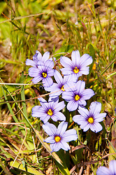 California wildflower travel: Blue-eyed grass at Point Reyes.Photo copyright Lee Foster.  Photo # cawild102556