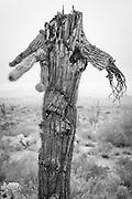 Saguaro people - Ichabod