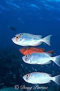 crescent-tail bigeye or moontail bullseye, <br /> Priacanthus hamrur, two color phases,<br /> Sipadan Island, off Borneo, Malaysia,<br /> ( Celebes Sea )