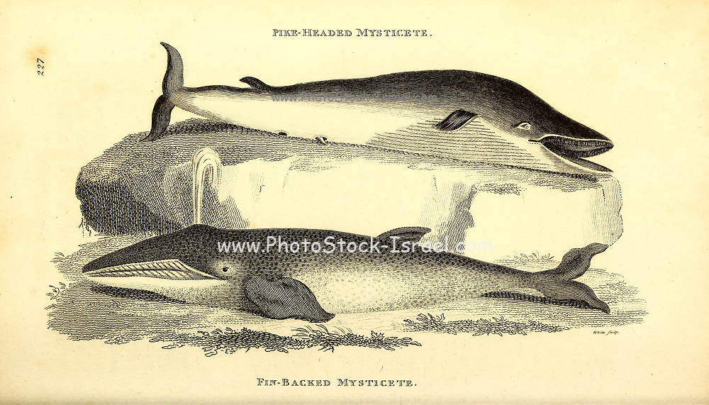 Whales from General zoology, or, Systematic natural history Vol II Part 2 Mammalia, by Shaw, George, 1751-1813; Stephens, James Francis, 1792-1853; Heath, Charles, 1785-1848, engraver; Griffith, Mrs., engraver; Chappelow. Copperplate Printed in London in 1801 by G. Kearsley