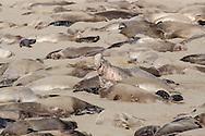 Northern Elephant Seal - Mirounga angustirostris - colony