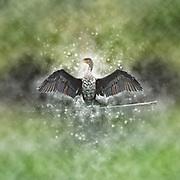 Digitally enhanced image of a White breasted Cormorant (Phalacrocorax lucidus) drying its wings Photographed in Lake Naivasha, Kenya